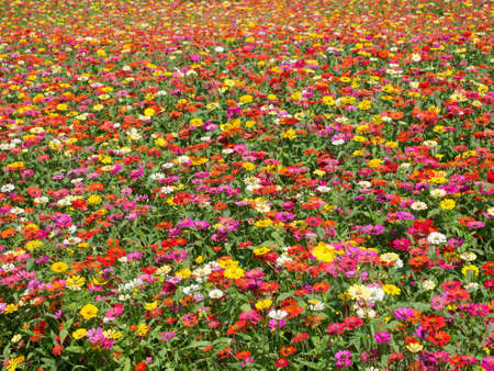 Colorful Zinnia Flower Field Background Stock Photo