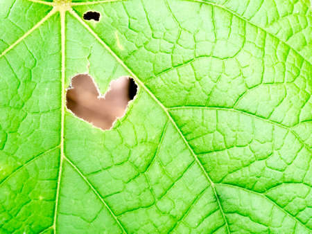 leaf shape: abstract heart hole shape on green leaf background