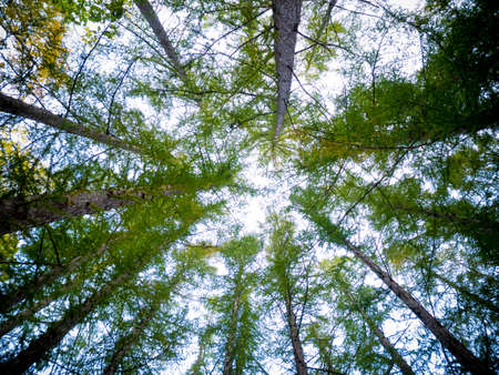 Looking Up In Pine Forest Tree