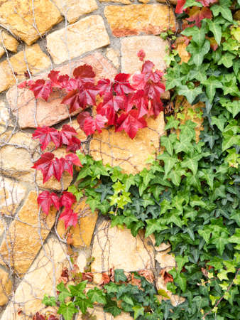 stone wall with ivy leaves in autumn