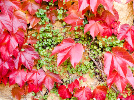 ivy wall: stone wall with ivy leaves in autumn