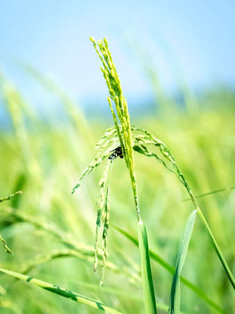 Rice spike in rice field nature background