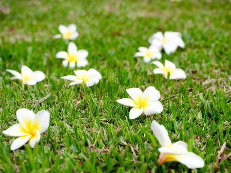 Plumeria flowers on green grass background Stock Photo