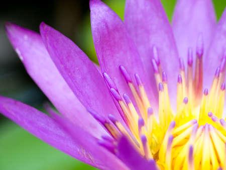 close up pollen purple lotus bloom