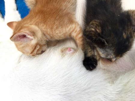 Kitten eat milk from mom Stock Photo