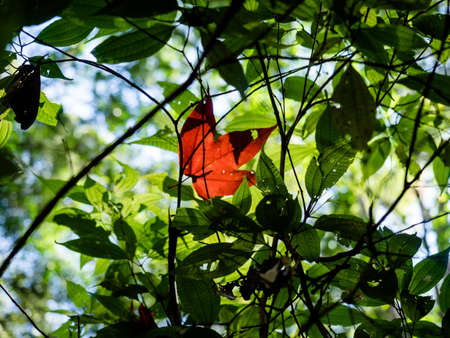 maple leaf drop on green leaf background Stock Photo