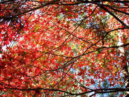 red maple leaf nature background Stock Photo