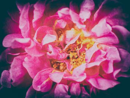 vintage tone pink rose flower nature background