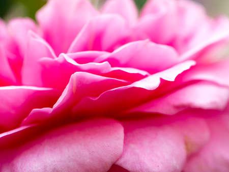 pink rose flower nature background