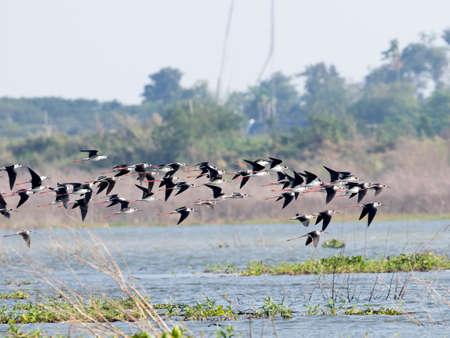 Blac winged stilt bird at Bungboraped lake in Thailand