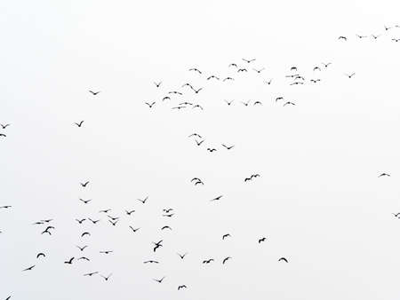 flock of birds isolated background