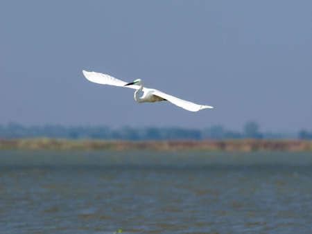 Potrait of the Ardea alba bird in low flight above water Stock Photo