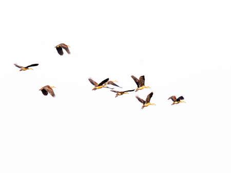 Ferruginous Pochard bird at Bungboraped lake in Thailand Stock Photo