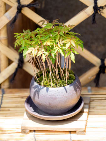 bonsai tree in pot on wooden stand
