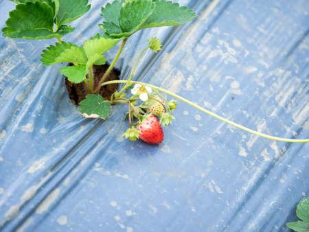 Strawberry farm in Thailand