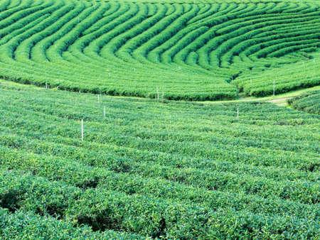 Green Tea Farm nature