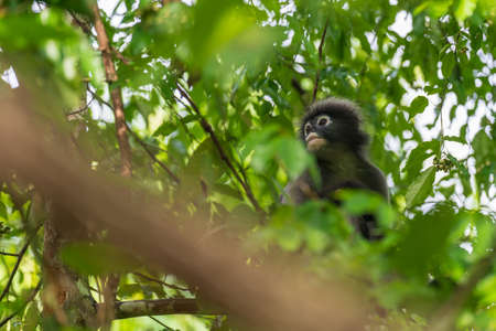 The dusky leaf monkey with its cute and adorable looks is a primate species