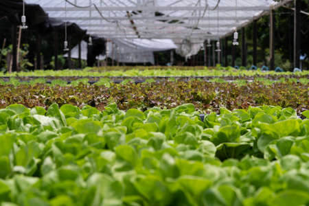 Hydroponic vegetables salad farm method of growing plants