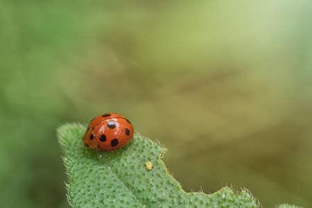 Ladybug on green leaf defocused on green background Stock fotó