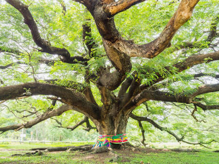 largest: Largest Monkey Pod Tree on white sky at Kanchanaburi, Thailand