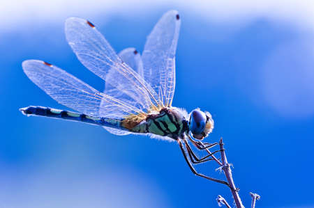 macro photography: Dragonfly on blue background