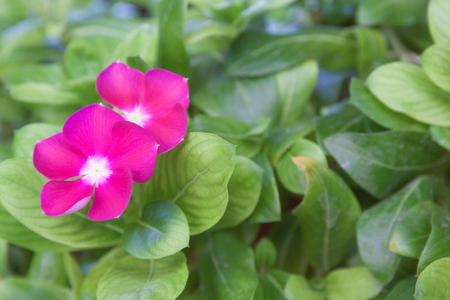 west indian: Pink flower West Indian Periwinkle