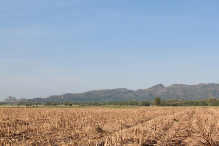 maize: Dry maize field after harvest