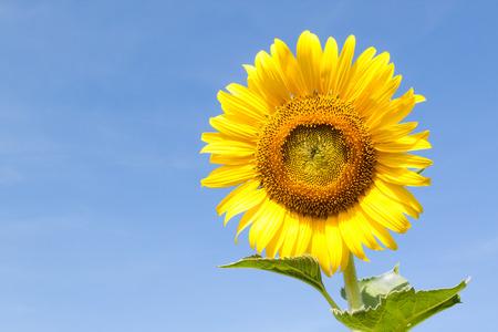 Sun flower: Nahaufnahme der Sonnenblume gegen den blauen Himmel Lizenzfreie Bilder