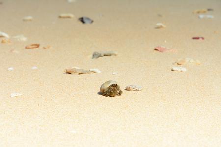 hermit crabs: Hermit crabs live in shells along the beach