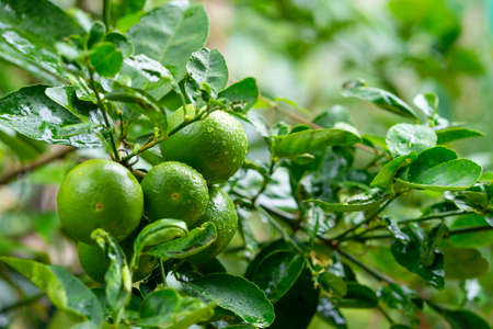 Green limes on a tree.