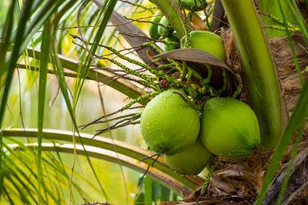Coconut on tree