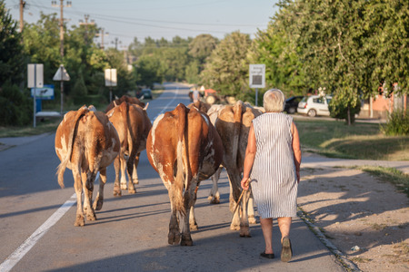 DUBOVAC, SERBIA - AUGUST 3, 2017: Peasant woman conducting her herd of cows on a street of Dubovac, a small agricultural village of central Serbia  Picture of a woman conducting her cows on the main street of Dubovac, a little Serbian village, known for i