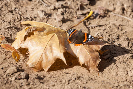 Red admiral butterfly resting on a brown leaf in autumn in a forest of Europe. Also called Vanessa Atalanta, it is a very common butterfly in temperate climates. Picture of a red admiral butterfly in fall in Europe. Vanessa atalanta, the red admiral or, previously, the red admirable, is a well-characterized, medium-sized butterfly with black wings, red bands, and white spots.