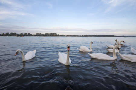 Flock of Swans, black and white types with their typical curved neck and orange beak on the Danube river, in Zemun, Belgrade, Serbia.