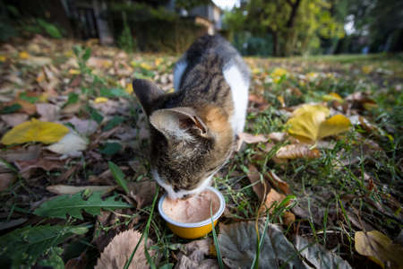 Stray cat, european white and tabby shorthair, eating wet food on the streets, while being abandoned. Picture of an abandoned stray cat, shorthair, tabby, in some street, eating wet food.