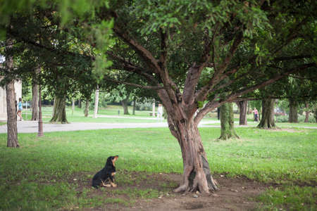 Lutalica, a typical serbian stray dog, abandoned, sitting and staring at a tree in a park of the city center of Belgrade, in Serbia, which as an important group of abandoned dogs.