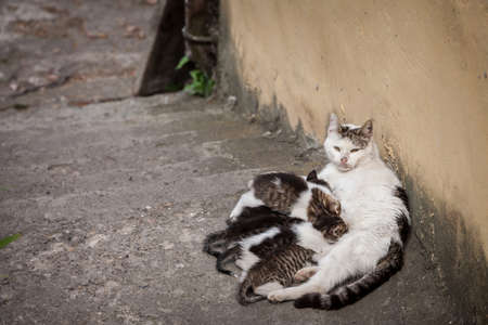 Selective blur on a young mother cat nursing her kitten litters, nurturing her young offspring of cats, breasfeeding them.