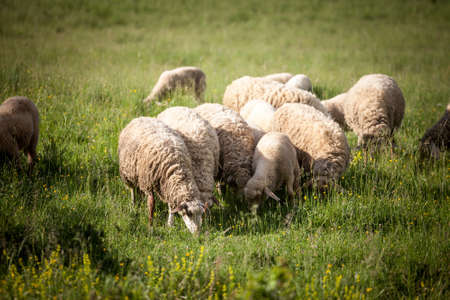 Selective blur on a flock and herd of white sheeps, with short wool, standing and eating in the grass land of a pasture in a Serbian farm. They are pretty common farming animals, also called ovis aries.