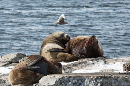jubatus: Nature of Kamchatka: rookery Northern Sea Lion or Steller Sea Lion (Eumetopias Jubatus). Russia, Kamchatka Peninsula, Avacha Bay, Petropavlovsk-Kamchatsky.