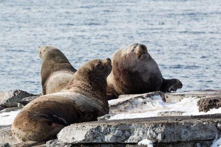 kamchatka: Nature of Kamchatka: rookery Northern Sea Lion or Steller Sea Lion (Eumetopias Jubatus). Russia, Kamchatka Peninsula, Avacha Bay, Petropavlovsk-Kamchatsky.