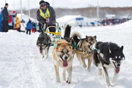 mushing: PETROPAVLOVSK-KAMCHATSKY, KAMCHATKA, RUSSIA - MARCH 2, 2014: Running sled dog team Kamchatka musher Kutynkovav Eugene. Kamchatka Sled Dog Racing Beringia. Race-prologue, distance of 10 kilometers.