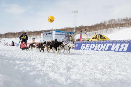 mushing: PETROPAVLOVSK-KAMCHATSKY, KAMCHATKA, RUSSIA - MARCH 2, 2014: Running dog sled team musher Krivogornitsyn Alexander. Kamchatka Sled Dog Racing Beringia. Race-prologue, distance of 10 kilometers. Editorial