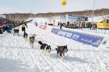 mushing: PETROPAVLOVSK-KAMCHATSKY, KAMCHATKA, RUSSIA - MARCH 2, 2014: Runs through the stadium sled dog team musher Dmitry Revenok. Kamchatka Dog Sled Racing Beringia. Race-prologue, distance 10 kilometers. Editorial