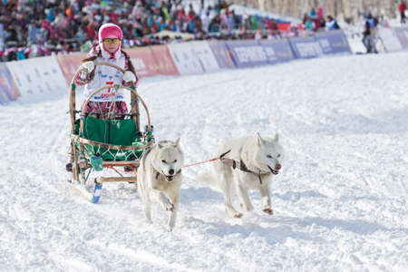 mushing: PETROPAVLOVSK-KAMCHATSKY, KAMCHATKA, RUSSIA - MARCH 2, 2014: Kamchatka Kids Sled Dog Race Dulin, Beringia. Young girl musher with his sled dog runs at a distance of 3 kilometers. Editorial