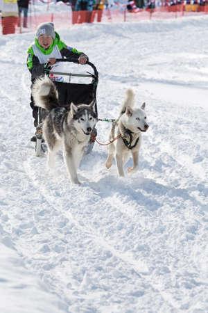 mushing: PETROPAVLOVSK-KAMCHATSKY, KAMCHATKA, RUSSIA - MARCH 2, 2014: Kamchatka Kids Dog Sledge Race Dulin, Beringia. Young boy musher with his sled dog runs at a distance of 3 kilometers. Editorial
