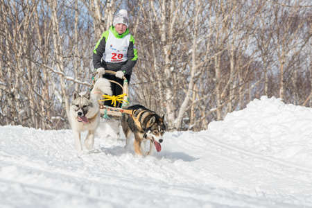 mushing: PETROPAVLOVSK-KAMCHATSKY, KAMCHATKA, RUSSIA - MARCH 2, 2014: Kamchatka Kids Dog Sledge Racing Dulin, Beringia. Young girl musher with his sled dog runs at a distance of 3 kilometers in the woods.