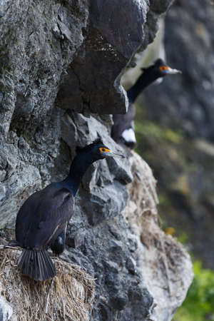 suliformes: Nature of Kamchatka: Red-faced cormorant (Phalacrocorax urile) sitting in nest on cliff. Russia, Far East, Kamchatka Peninsula. Stock Photo