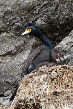 suliformes: Wildlife of Kamchatka Peninsula: Red-faced cormorant (Phalacrocorax urile) sitting in nest on cliff. Russia, Far East, Kamchatka.