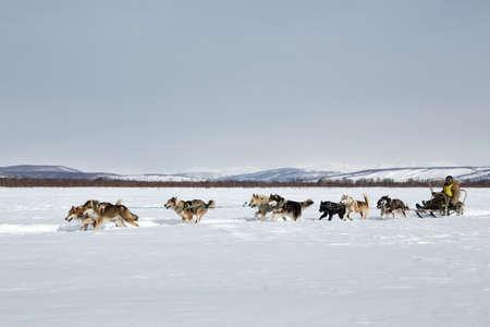 KAMCHATKA, RUSSIA - MARCH 3, 2014: Traditional Kamchatka Sled Dog Race Beringia. Russian Federation, Far East, Kamchatka Peninsula.