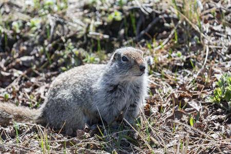 considerate: Ground squirrel. Far East Russia Kamchatka Peninsula. Stock Photo